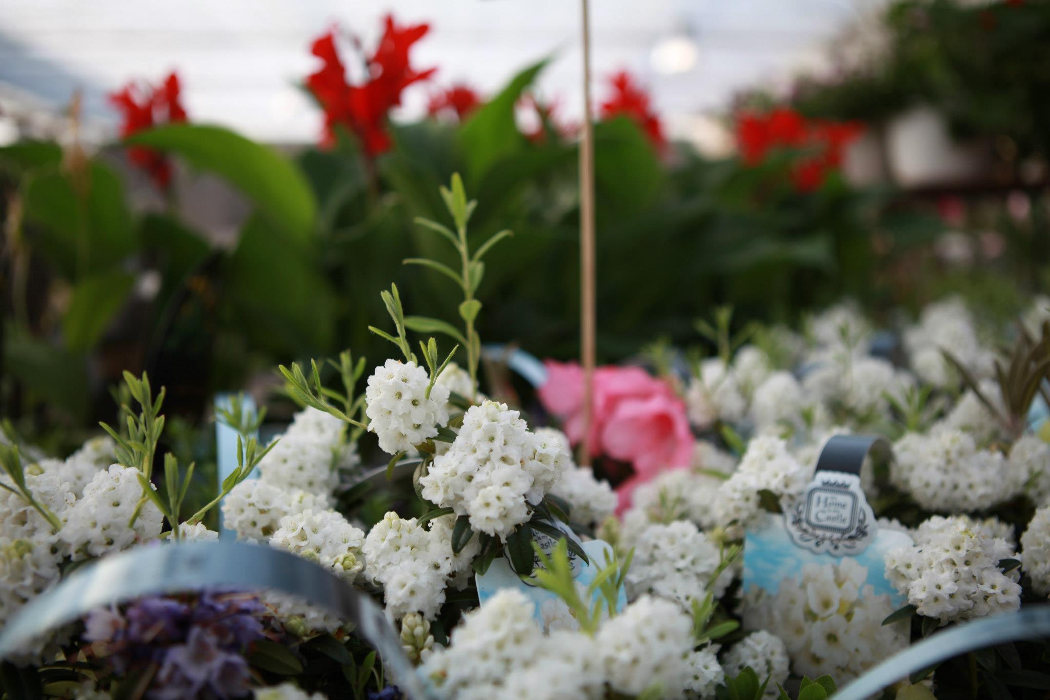 Valge suvelill jardin lilled for Jardin valge tijuana