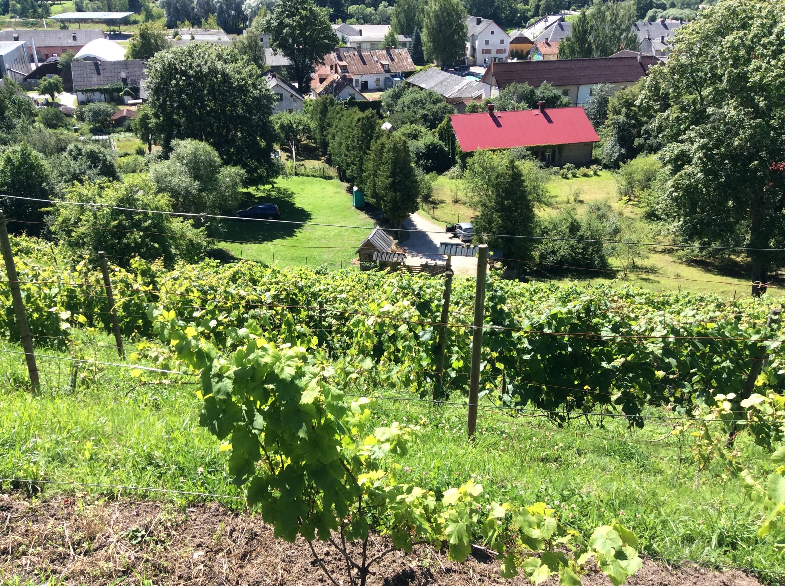 Sabile viinamarja istandus jardin lilled for Jardin lilled