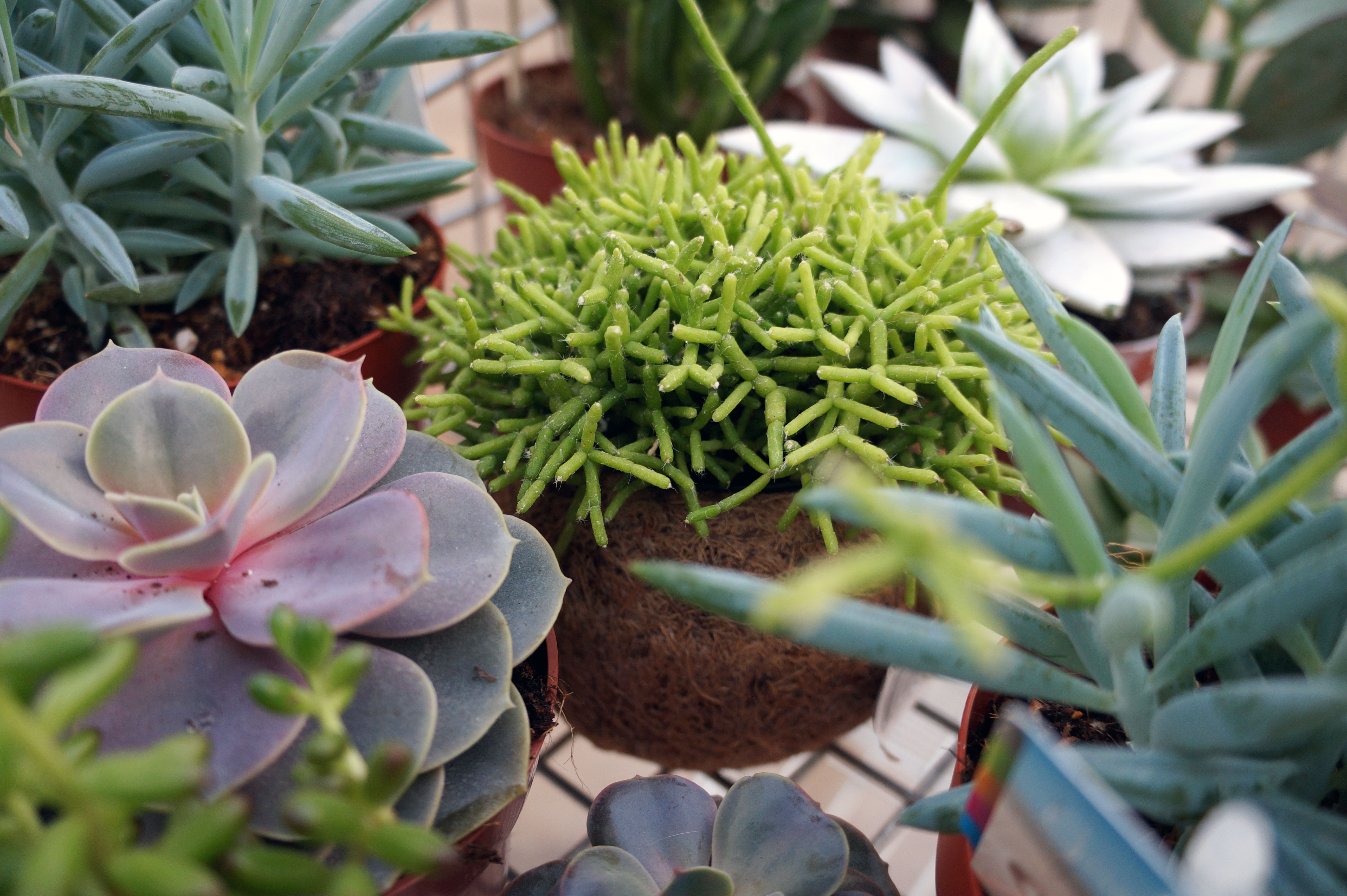 1 teemas on sukulendid jardin lilled for Jardin lilled